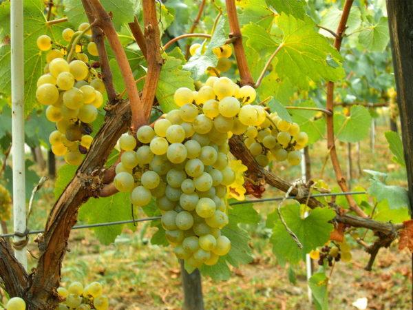 Mazzo di varietà chardonnay
