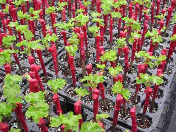 coltivazione di uva da talee