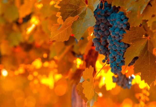 Cosa fare con l'uva in ottobre
