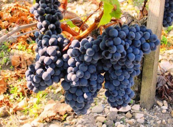 Merlot d'uva