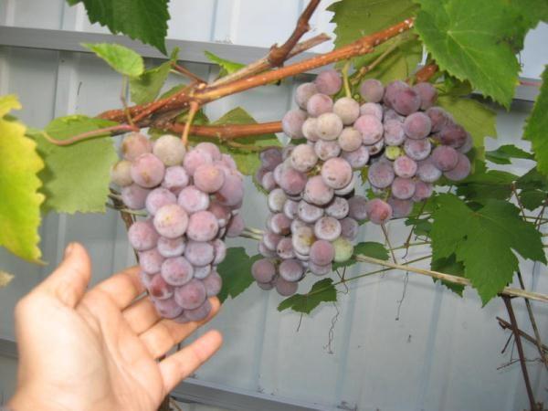 Le bacche per fare il vino è meglio raccogliere nel mezzo dell'autunno