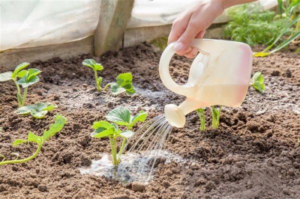 Innaffiare le fragole con acqua con l'aggiunta di letame trasformato