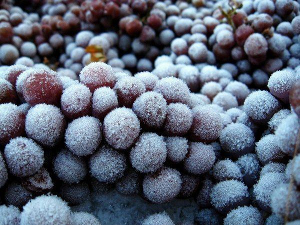 Per la produzione di bacche di vino ghiacciato è necessario congelare