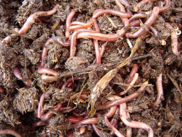 Worm Prospector - l'individuo più veloce di allevamento