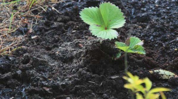 Il compost morto satura il terreno