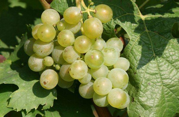 Varietà di uve resistenti al freddo