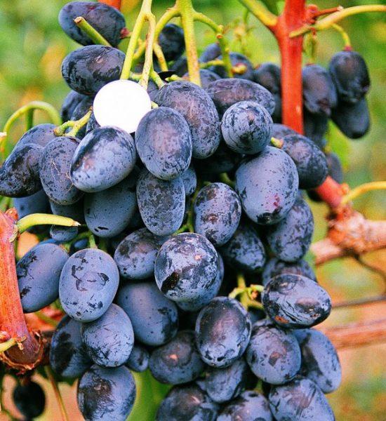 Le uve di Kuban si chiudono