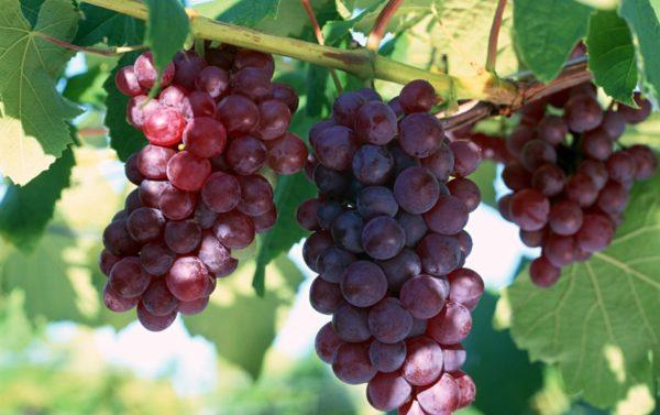 Il popolare vitigno è Lidia