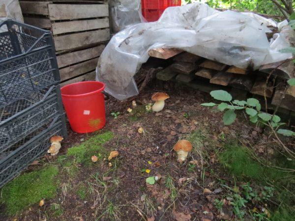 I funghi cresceranno nel giardino se scegli il posto giusto