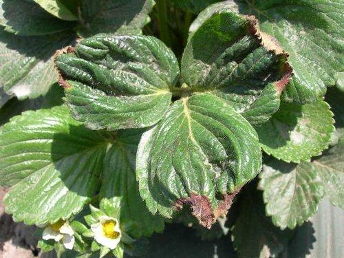 L'arricciamento delle foglie può indicare una carenza di potassio.