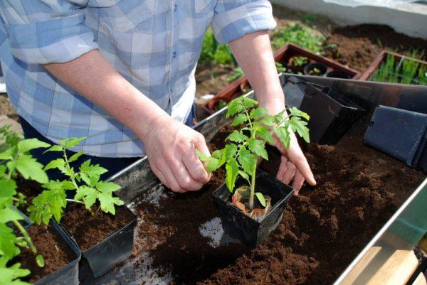 Cura per le piantine di pomodoro