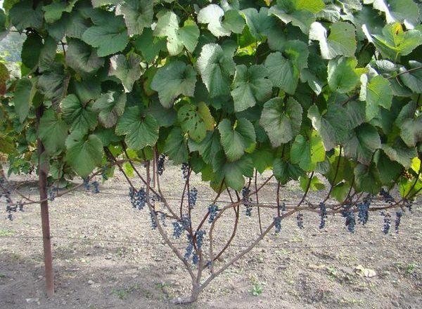 Amur Grape