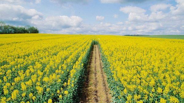Il colza come siderat è spesso piantato nei campi