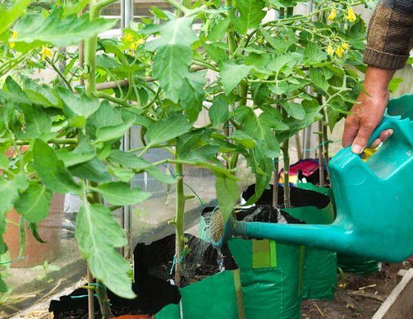 Annaffiatura dopo il trapianto di pomodori