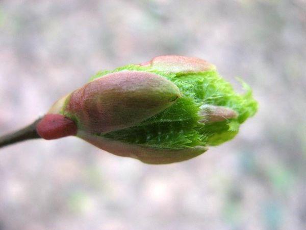 In primavera, l'azoto dà la saturazione di giovani steli e boccioli.
