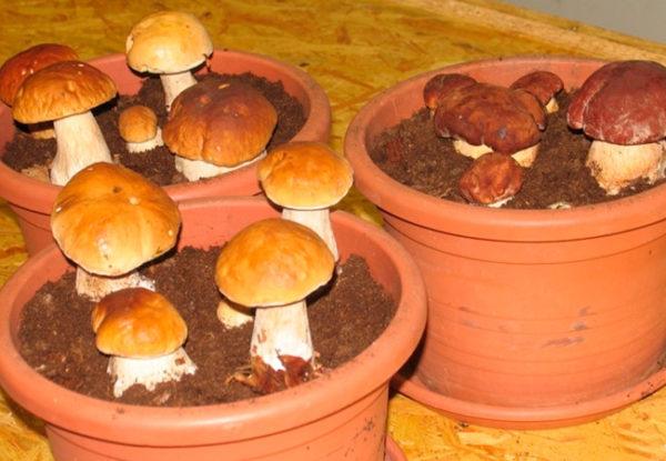 In cantina, i funghi possono essere coltivati anche in vasi di fiori