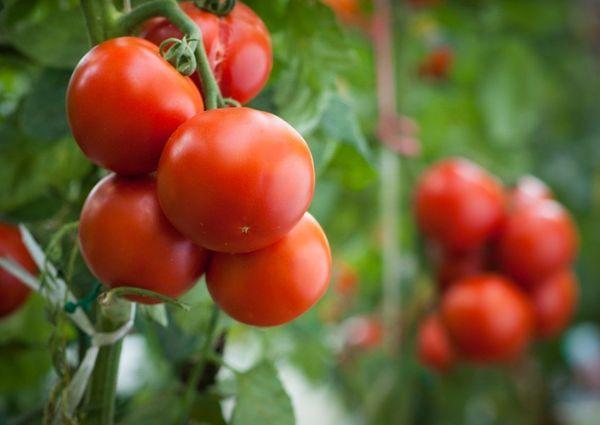 Quando si usa acido borico, la resa di pomodori è aumentata di un terzo