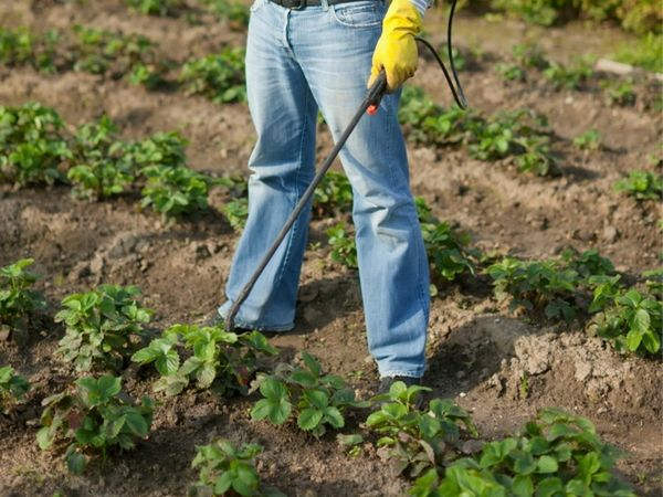 Nutrire le fragole con l'acido borico aumenta la resistenza a malattie e parassiti.