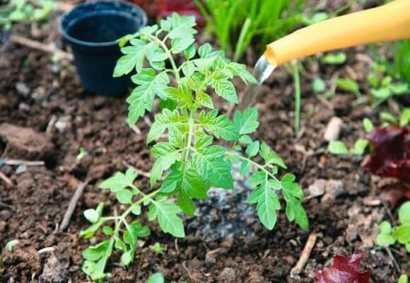 Per migliorare la crescita puoi innaffiare i pomodori con miscele di fertilizzanti.