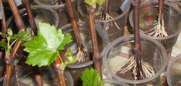 Uva con radici, pronta per la semina