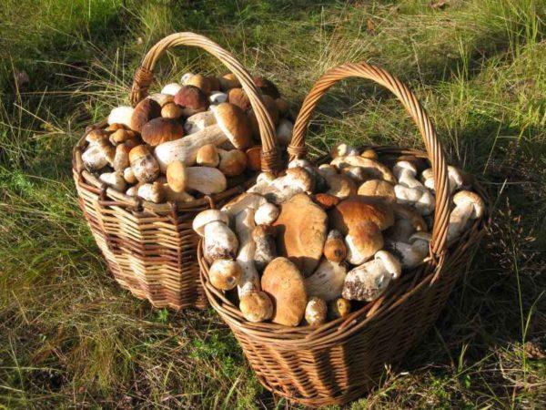 Quando si coltivano funghi bianchi dal micelio può essere un raccolto impressionante