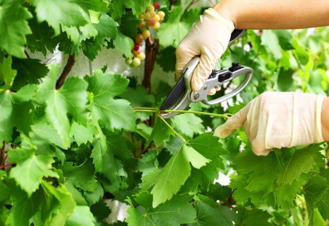 Cura delle uve