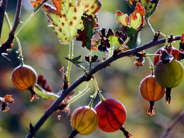 In autunno le uva spina hanno bisogno di cure pre-invernali