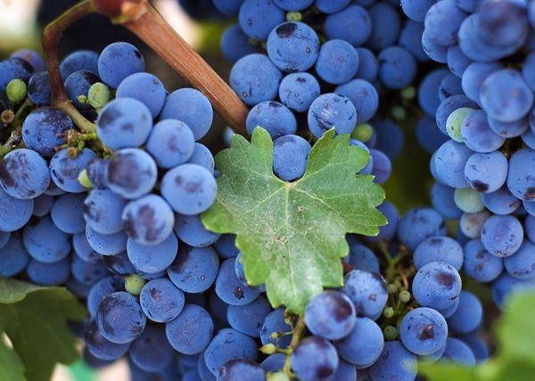Le uve Isabella possono crescere su quasi tutti i terreni.
