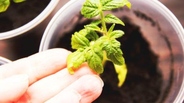 Le foglie gialle dei pomodori si chiudono su