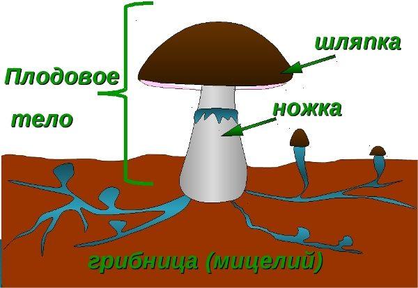 Struttura del fungo del cappello