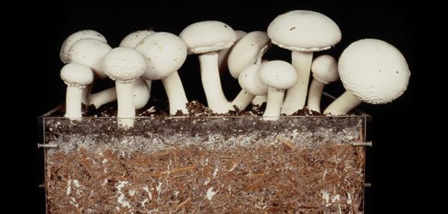 Funghi compost