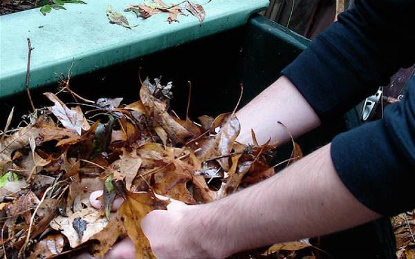 Le foglie raccolte devono essere frantumate a mano o con un trituratore.
