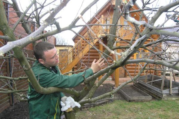 I fertilizzanti fosfatici rafforzano gli alberi