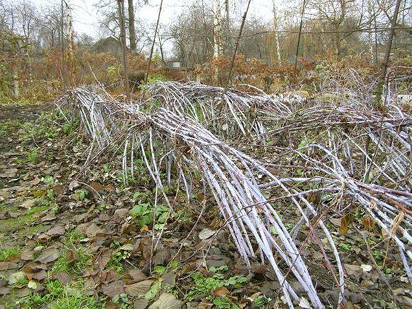 Cespugli di lamponi dopo la pre-inverno chinandosi
