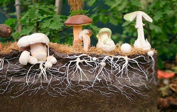Micelio di funghi