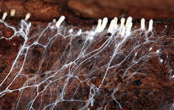 Thall - una rete di ife, simile a un cotone bianco