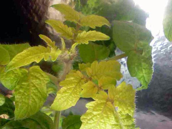 A causa della mancanza di azoto, le foglie delle piante iniziano a indebolirsi e ingialliscono.