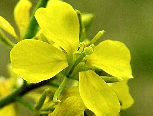 La senape è una grande pianta di miele.