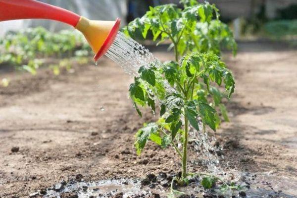 come nutrire le piantine di pomodoro