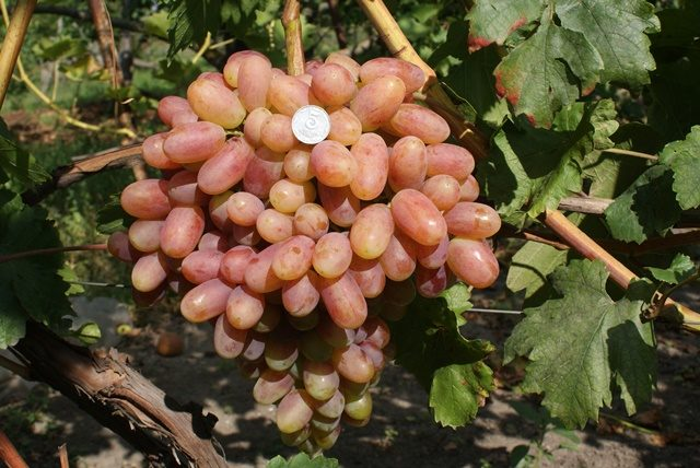 Trasfigurazione dell'uva