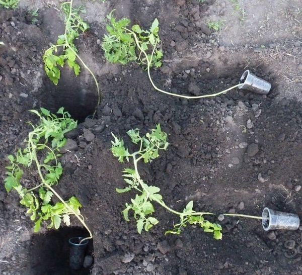 Come piantare piantine di pomodoro invaso