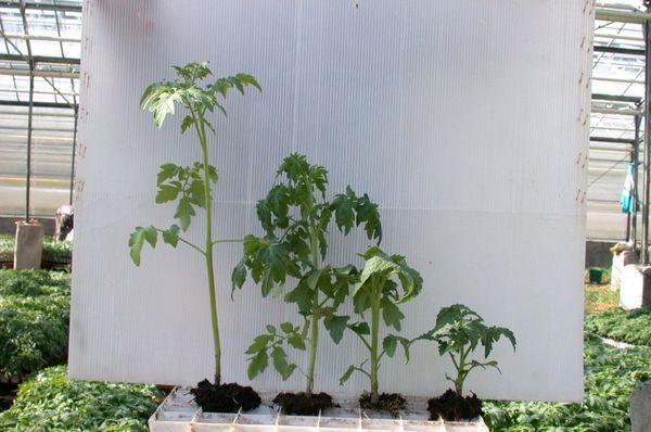 Gli alberelli fortemente invasi hanno un'altezza di circa 50-60 cm