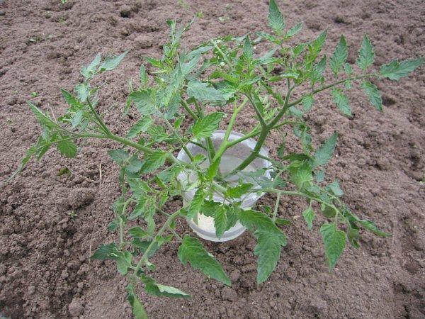 Le piantine troppo cresci possono essere tagliate a metà e cresciute ulteriormente come 2 piantine