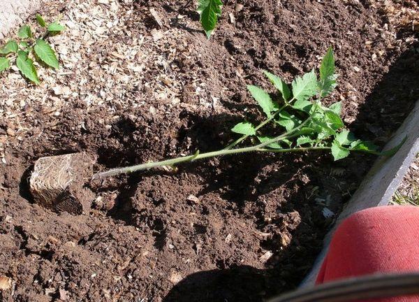 Le piantine fortemente invase dovrebbero essere piantate sdraiate.
