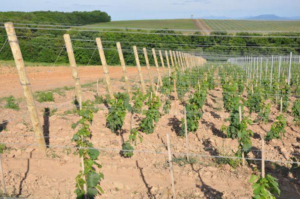 La distanza tra i cespugli d'uva è di almeno 2,5 metri
