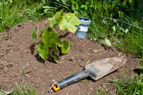 Dopo aver piantato una piantina d'uva, devi versarla una volta con abbondante acqua