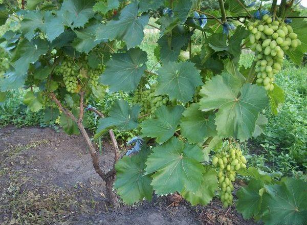 Trapianto d'uva