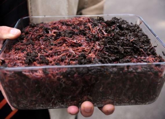 I vermi possono essere venduti negli allevamenti di uccelli
