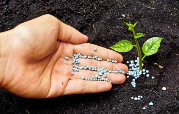 Fecondazione di piante con la preparazione di un fertik in granuli