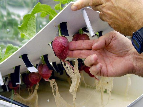 Quando si trasferiscono le piante all'idroponica, è importante non danneggiare il sistema radicale.